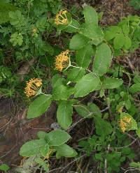 Image of Lonicera dioica