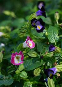 Image of Torenia fournieri