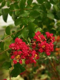 Image of Lagerstroemia indica