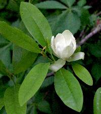 Image of Magnolia virginiana