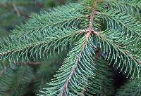 Image of Picea sitchensis