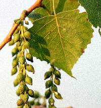 Image of Populus deltoides