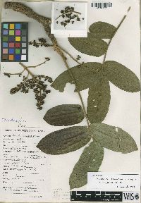 Image of Zanthoxylum albuquerquei