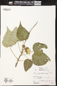 Image of Croton abutilifolius