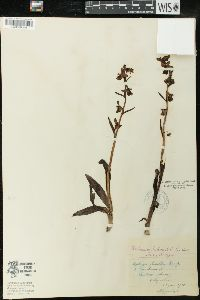 Ophrys fuciflora image