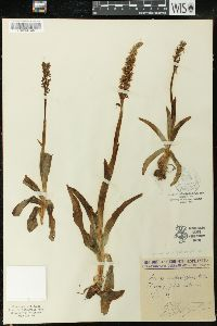 Orchis anthropophora image