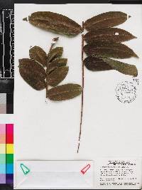 Image of Zanthoxylum martinicense