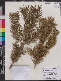 Image of Abies pindrow