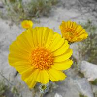 Image of Geraea canescens
