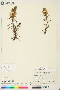 Pedicularis arctica image