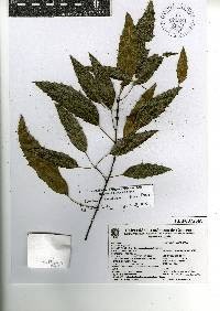 Image of Quercus breedloveana