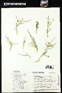 Glossopetalon spinescens image
